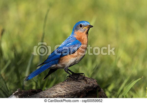 Hermoso pájaro azul del este - csp50059952