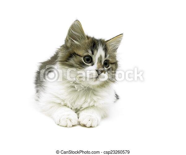 Hermosa gatita esponjosa aislada en el primer plano de fondo blanco - csp23260579