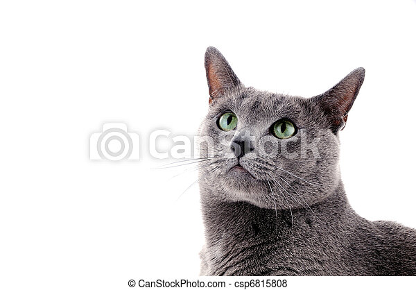 Retrato de un hermoso gato - csp6815808