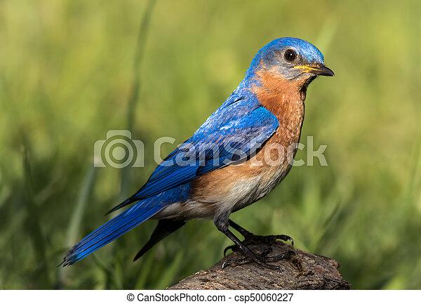 Hermoso retrato de pájaro azul del este - csp50060227