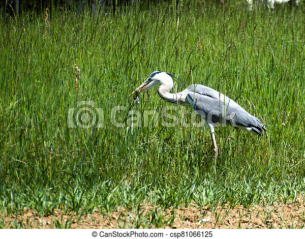 Heron on a meadow in Germany - csp81066125