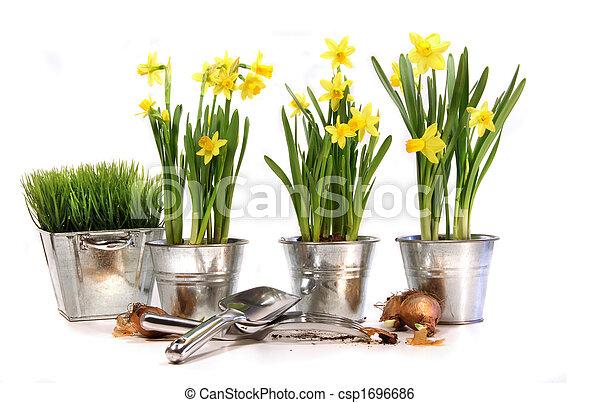 Pozos de narcisos con herramientas de jardín en blanco - csp1696686