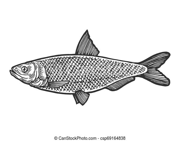 Herring Clupea Fish Food Animal Sketch Engraving Vector Illustration Scratch Board Style Imitation Black And White Hand Drawn Image