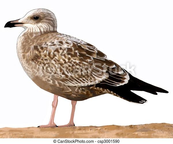 Herring Gull - csp3001590
