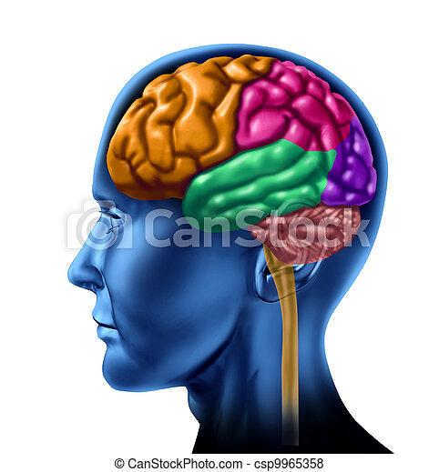 hersenen, gedeeltes, kwab - csp9965358