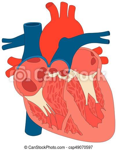 Herz, koerperbau, diagramm, menschlicher muskel, struktur. Herz ...