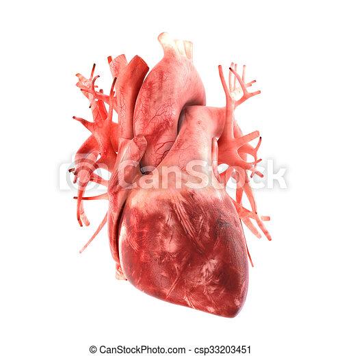 Herz, menschliche , modell, anatomisch, korrekt, 3d. Satz, organ, es ...
