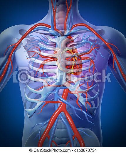 Herz, menschliches skelett, zirkulation. Koerper, herz, diagram ...