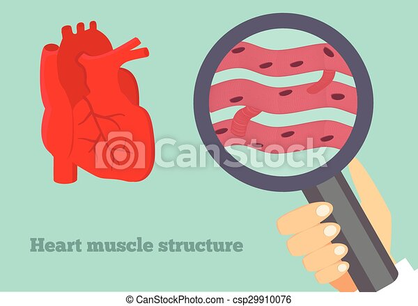 Herz, muskel, struktur, abbildung. Herz, struktur, cardiomyocyte ...