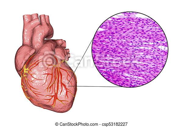 Herz, muskel, struktur. Herz, struktur, foto, ansicht, abbildung ...