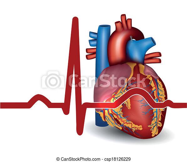 Das menschliche Herz schlägt, isoliert auf weiß - csp18126229