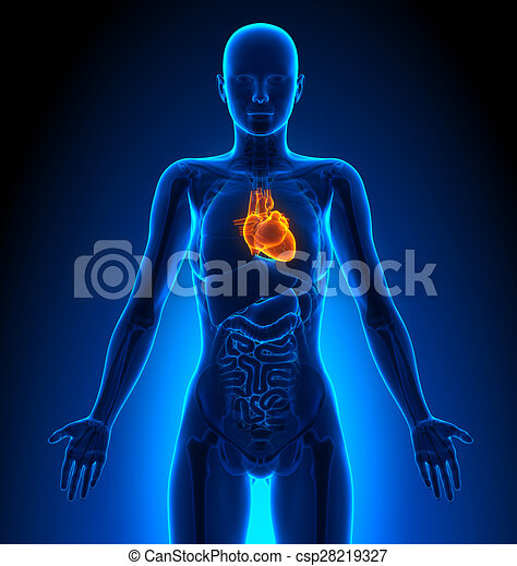 Herz, weibliche , -, koerperbau, menschliche , organe.