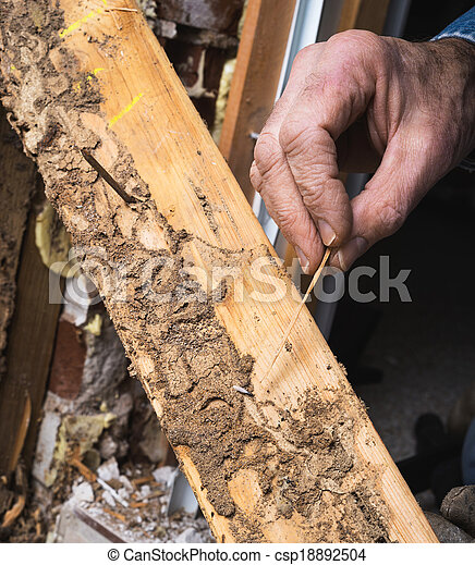 het tonen, termiet, hand, leven, hout, closeup, beschadigen, man's - csp18892504