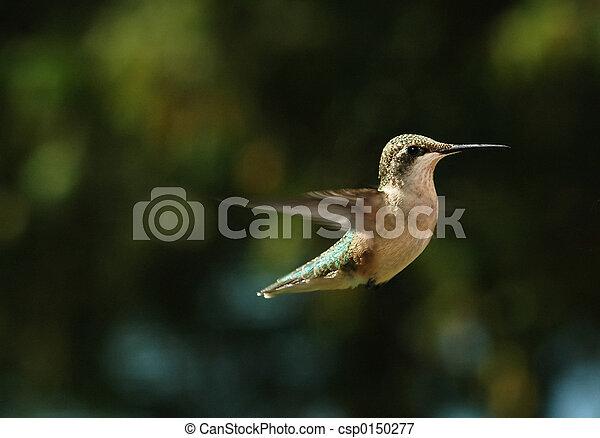het zoemen, vogel - csp0150277