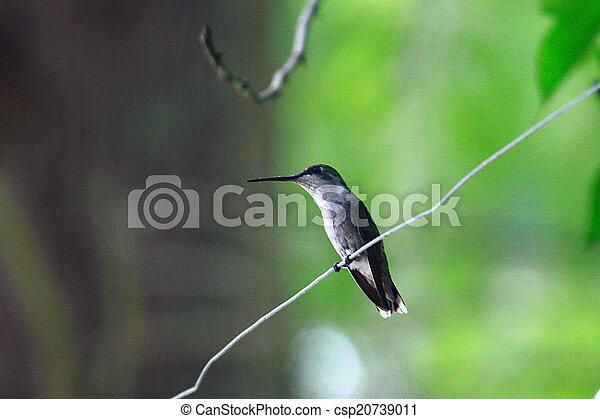 het zoemen, vogel - csp20739011