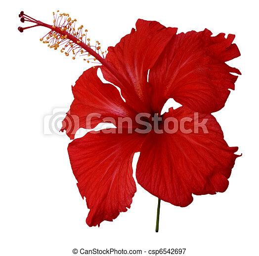 hibisco, flor blanca, rojo - csp6542697