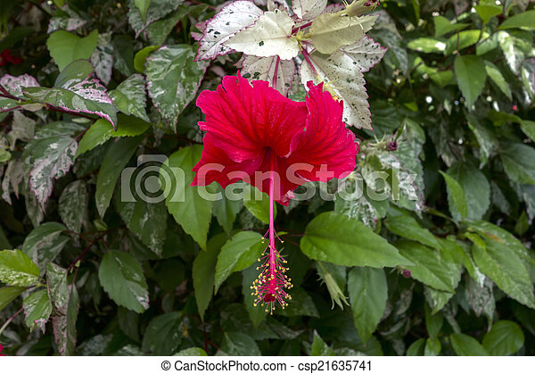 Hibiscus Bush With Red Flower And Variegated Leaves Hibiscus Bush