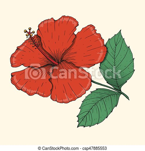 Hibiscus drawing color