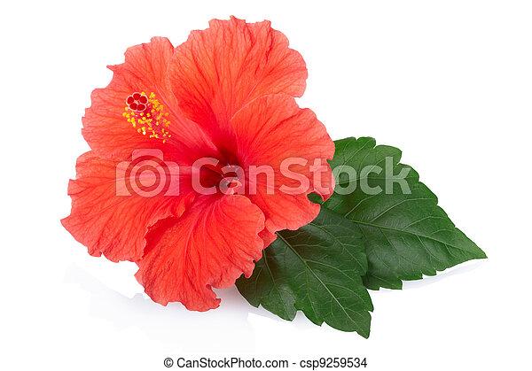 hibiscus, fleur, rouges - csp9259534