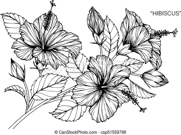 Hibiscus flower drawing and sketch with black and white line art mightylinksfo
