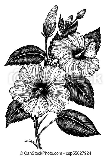 Hibiscus Flower Drawing Hand Drawn Hibiscus Flower On White