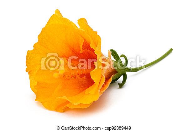 Hibiscus flower - csp92389449