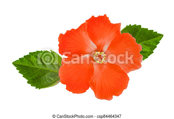 Hibiscus flower with leaf isolated on white background - csp84464347