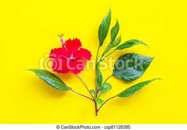 Hibiscus flower with leaves on yellow background. - csp81126385