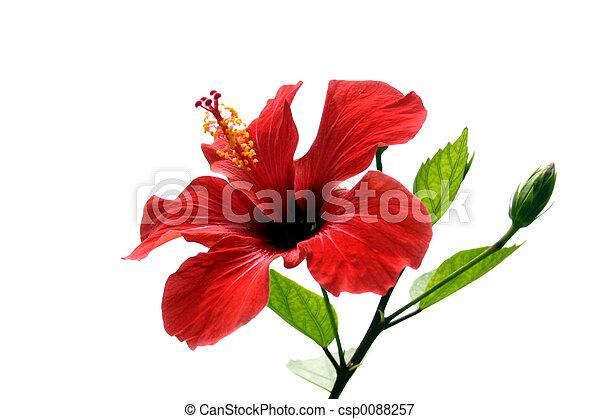 hibiscus, isolé - csp0088257
