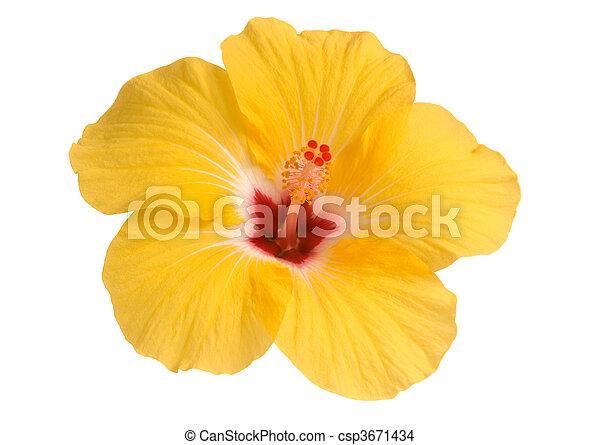 hibiscus, jaune - csp3671434