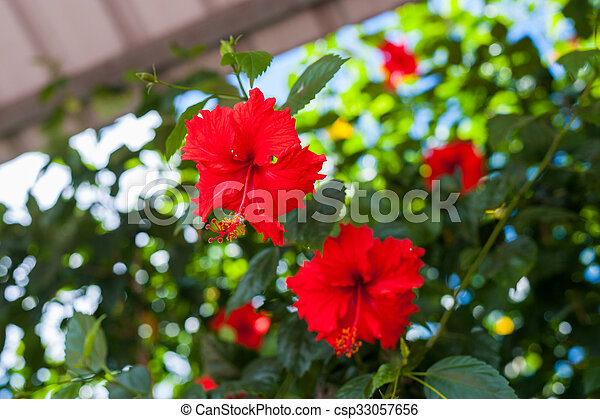 Hibiscus Rosa Sinensis Brilliant Vibrant Red Color