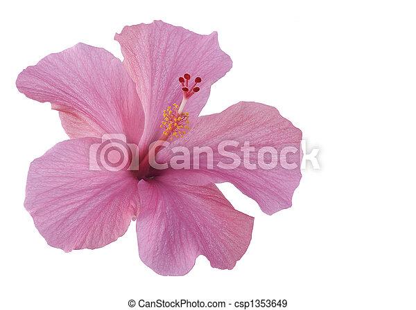 hibiscus, rose, isolé, blanc - csp1353649