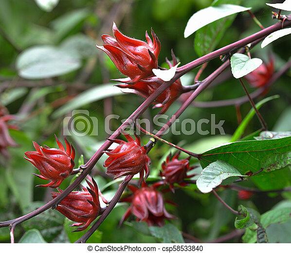 Hibiscus Sabdariffa Or Roselle Fruits Flower