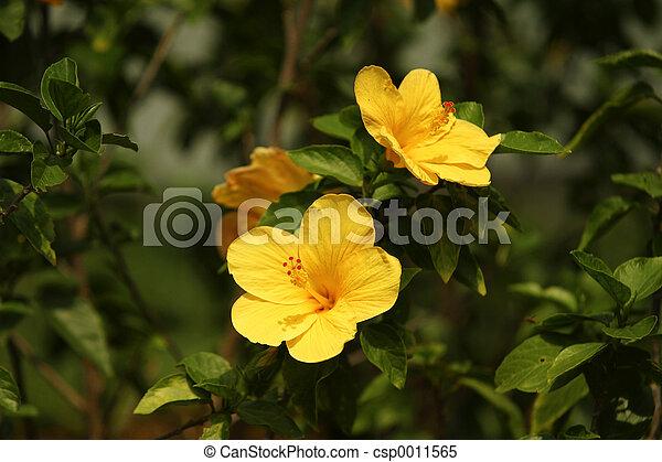 hibiscus - csp0011565