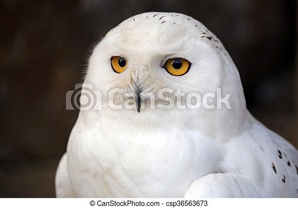 hibou, neige - csp36563673