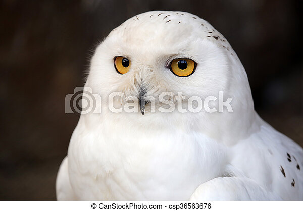 hibou, neige - csp36563676