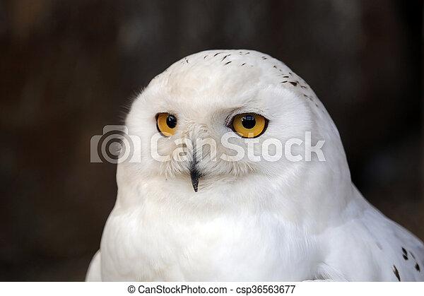 hibou, neige - csp36563677