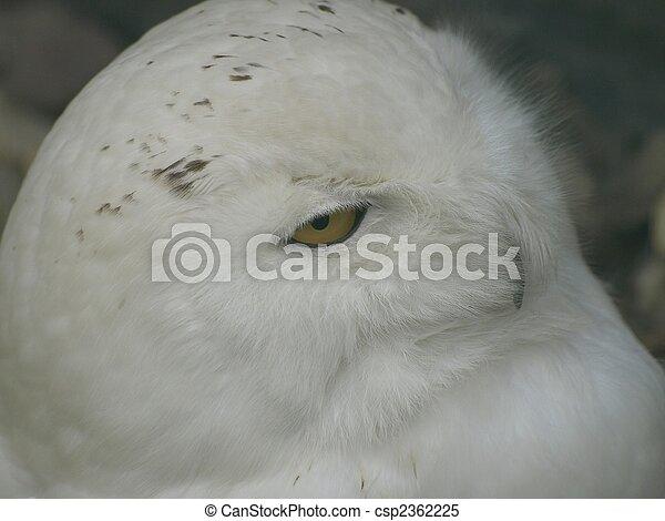 hibou, neige - csp2362225