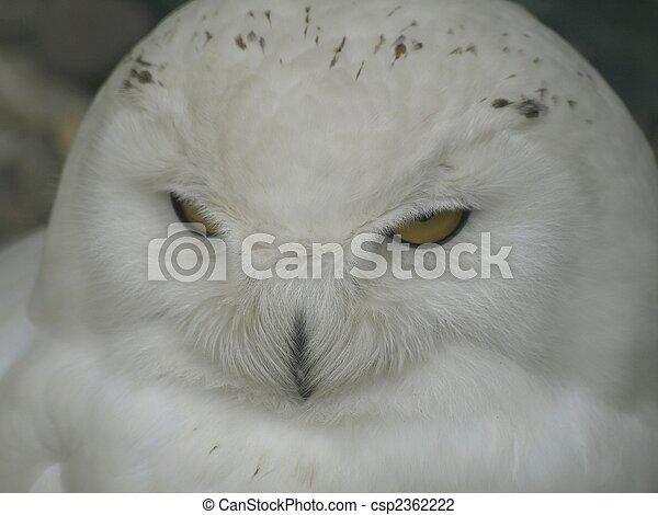hibou, neige - csp2362222