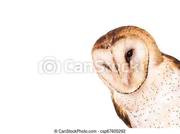 hibou, photo, owl., élevé, la plupart, commun, résolution, espèce, world. - csp67605292