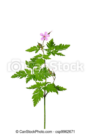 Herb Robert (Geranium robertianum) - csp9962671