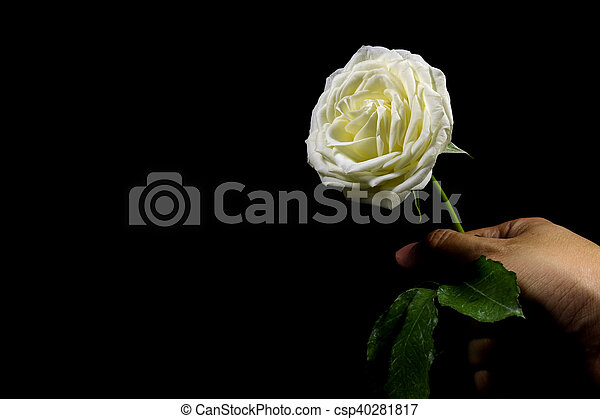 High contrast of black and white of hand holding the white rose on black background - csp40281817