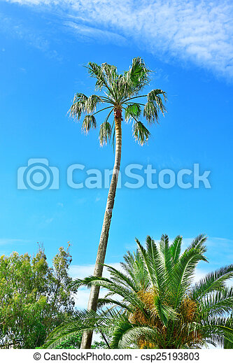 high palm on background of blue sky - csp25193803