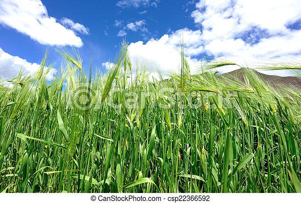 highland barley crops - csp22366592
