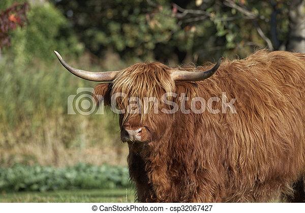 Highland Cattle, Kyloe - csp32067427