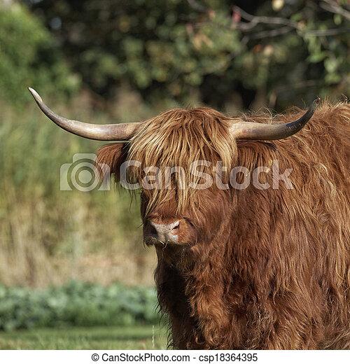 Highland Cattle, Kyloe - csp18364395
