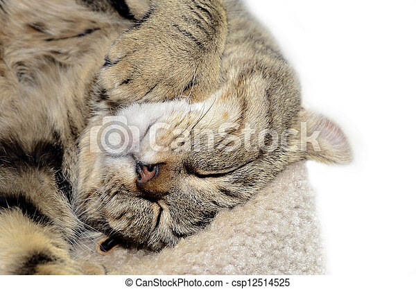 Highland Lynx Cat Sleeping - csp12514525