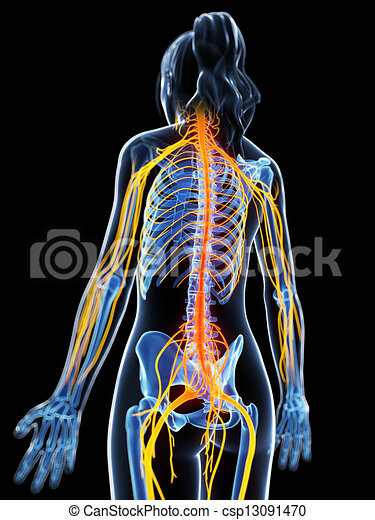 Highlighted female nervous system 3d rendered illustration of the highlighted female nervous system csp13091470 ccuart Images
