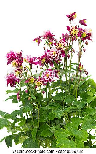 Hintergrund., pflanze, akelei, weißes. Pflanze, beständig, viele ...