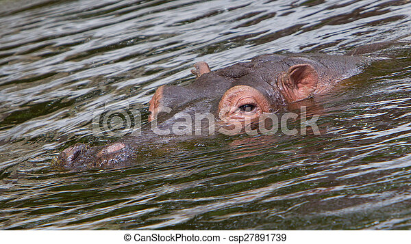 Hippo face in the water - csp27891739